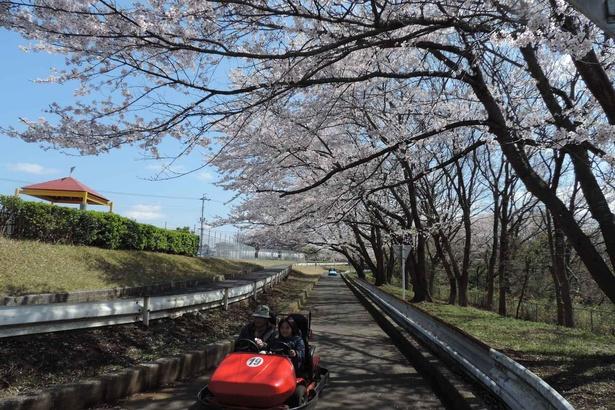 【写真】ゴーカートに乗って桜のトンネルをくぐるのはこの時期だけの贅沢だ!