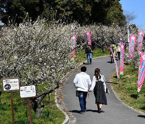 ゆっくりと散歩をしながら梅の木を鑑賞できる