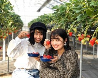 絶品いちごをたっぷりと、千葉県東庄町の磯山観光いちご園で「いちご狩り」が開催中