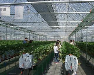 残留農薬ゼロの絶品いちご、山梨県中央市のグルメいちご館前田で「いちご狩り」が開催中