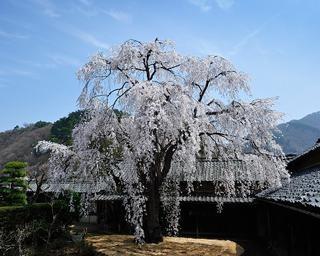 樹齢200年の桜、長野県須坂市の豪商の館 田中本家博物館の桜の見頃はいつ?