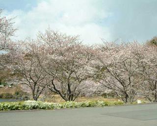 春爛漫、静岡県掛川市のつま恋リゾート彩の郷で桜が見頃