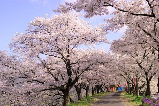 桜のトンネルが美しい斐伊川堤防桜並木
