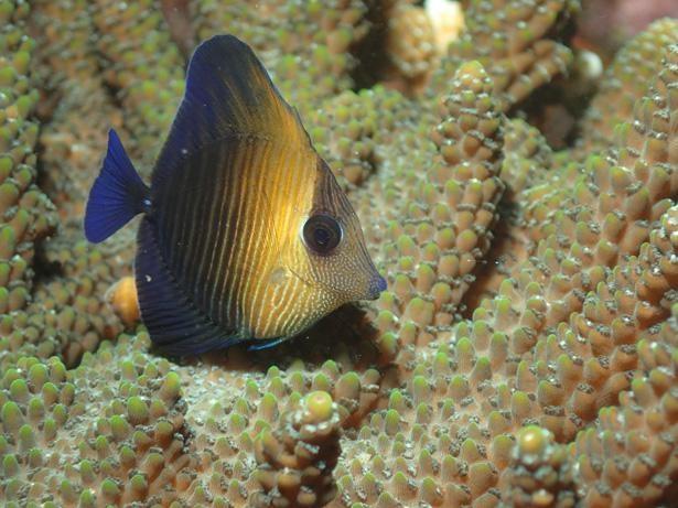 ゴマハギの幼魚