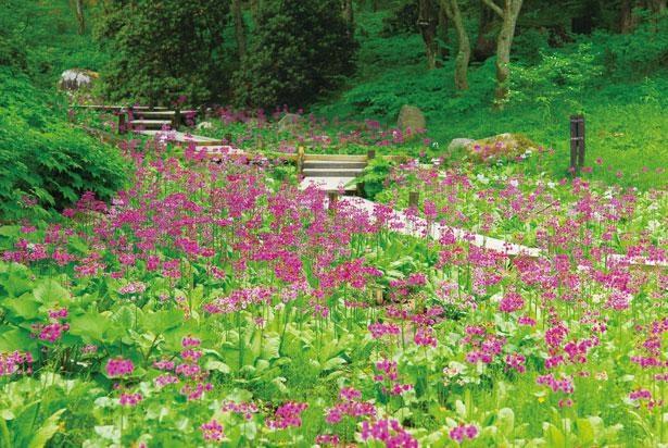 六甲高山植物園では世界の高山植物などが見られる