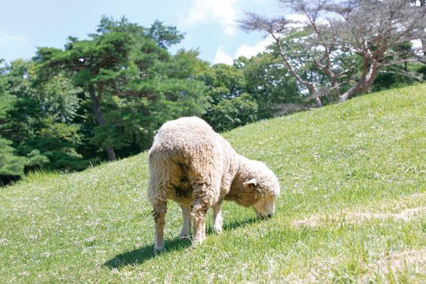 神戸市立六甲山牧場ではかわいいヒツジがお出迎え
