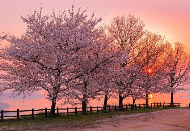 【写真】第3展望台から望む朝日と桜