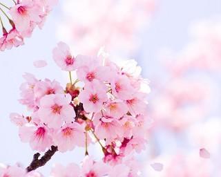2021年の桜、広島で開花発表 広島から開花スタートは観測史上初