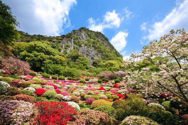 桜の後、4月中旬には20万本のツツジが見頃を迎える