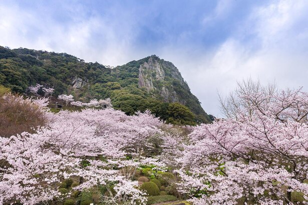 標高210メートルの御船山の断崖を背景に桜が咲き誇る