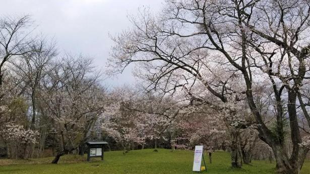 遠野の自然と桜を一緒に楽しめる鍋倉公園