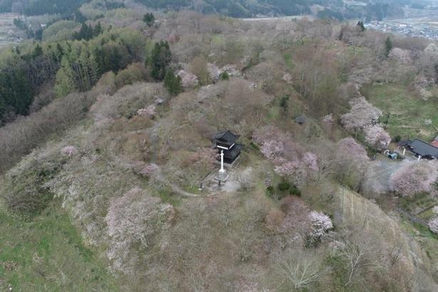 【写真】天守閣を模した展望台付近も桜が多い