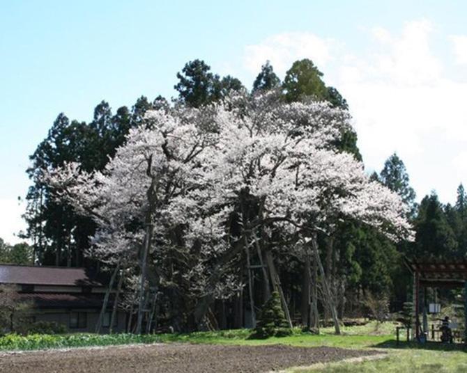 個人宅の桜としては国内最大級の大きさ、山形県長井市の草岡の大明神ザクラの見頃は?