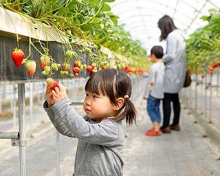 【コロナ対策付き】4月に京都府でおすすめのいちご狩り農園3選