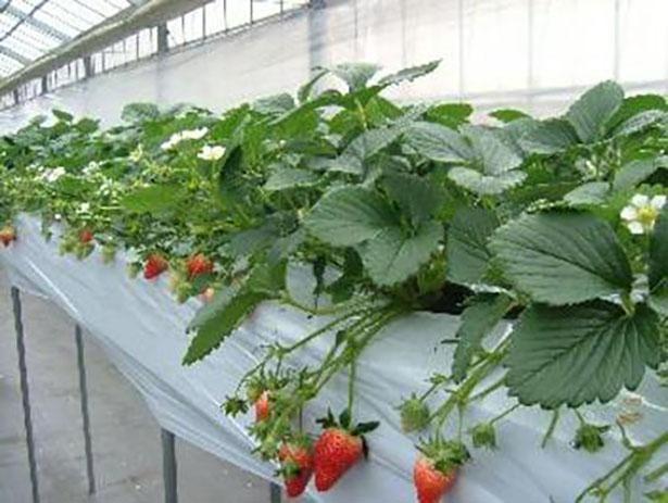 【写真】高設栽培で日光をたっぷりと浴びた果実