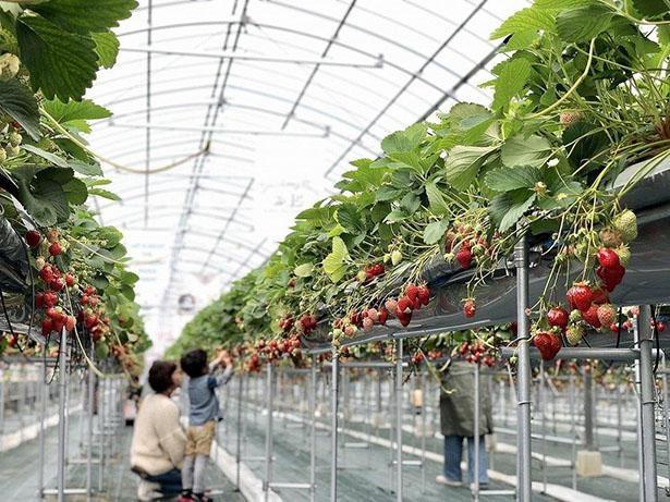 the Farm UNIVERSAL いちご狩り