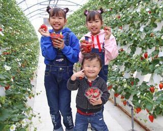 絶品いちごを収穫体験、千葉県富津市のマザー牧場で「いちご狩り」が開催中