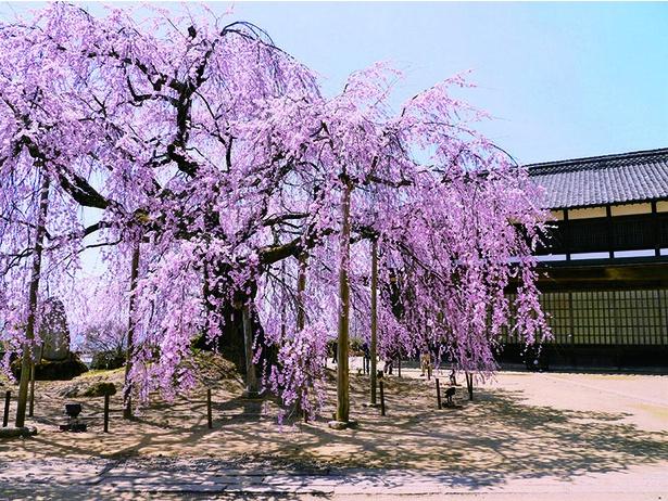 麻績の里 舞台桜。花弁の数が異なるので間近で確認してみよう