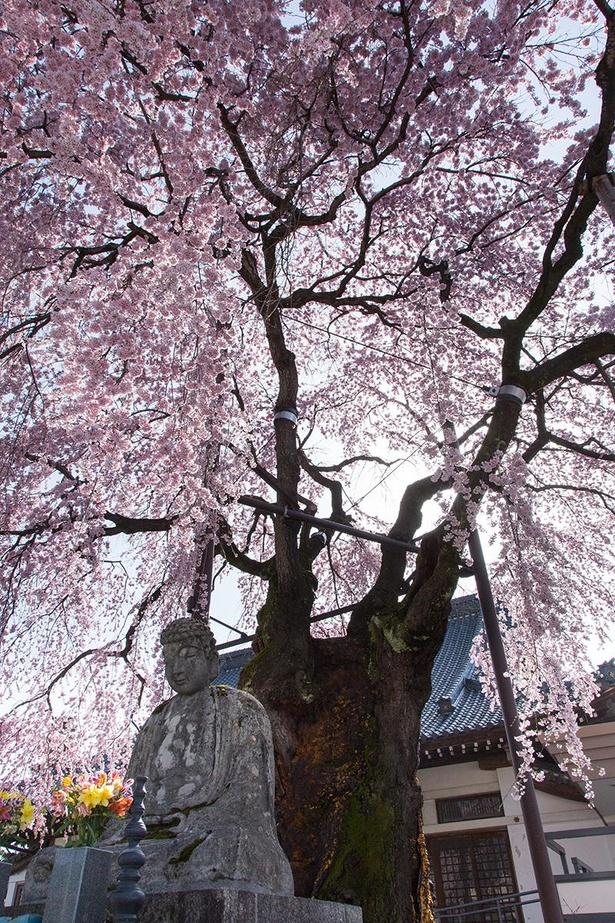 専照寺の枝垂れ桜。樹齢推定約350年の古樹