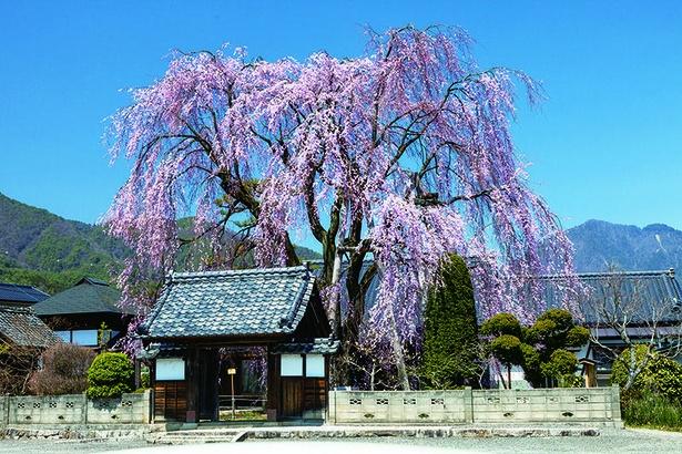 増泉寺の天蓋枝垂れ桜は大きさに驚かされる。天蓋のように境内を包み込む姿から名付けられた