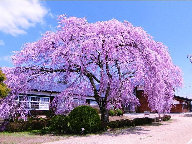 杵原学校の枝垂れ桜。数ある一本桜の中でも人気のスポット