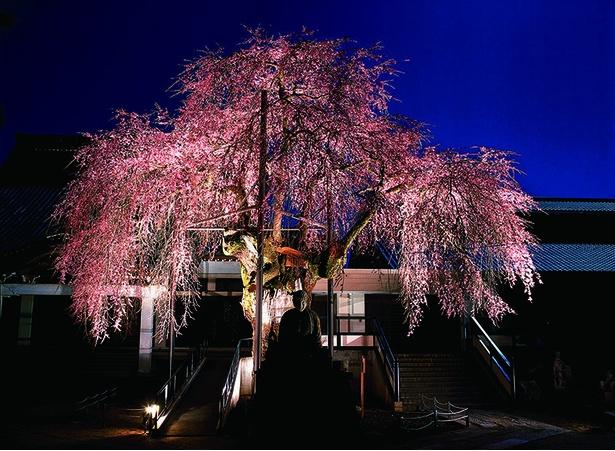 一部の一本桜がライトアップされる。写真は専照寺の枝垂れ桜