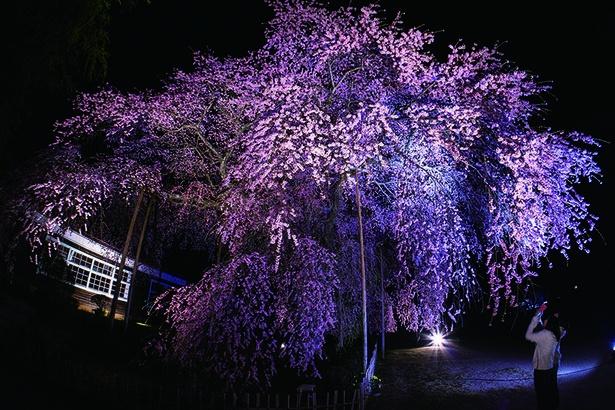杵原学校の枝垂れ桜もライトアップ。幻想的な雰囲気に