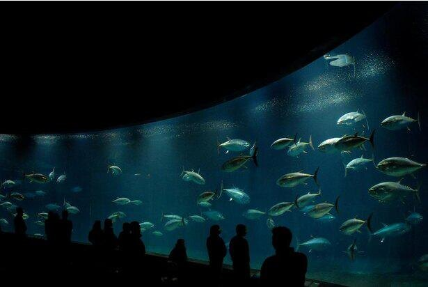 俊敏な動きを見せるクロマグロを展示する「大洋の航海者 マグロ」水槽