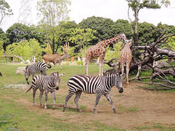「ズーラシア(ZOORASIA)」は愛称で、動物園(ZOO)と広大な自然をイメージしたユーラシア(EURASIA)の合成語