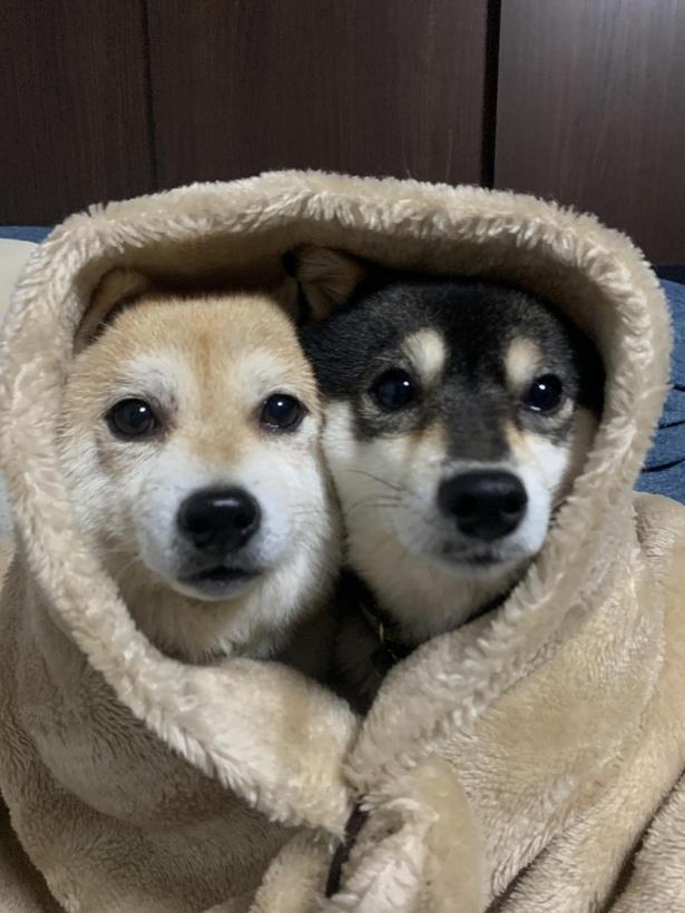 毛布にくるまって寝る前にワンショット。つぶらな瞳がキュート