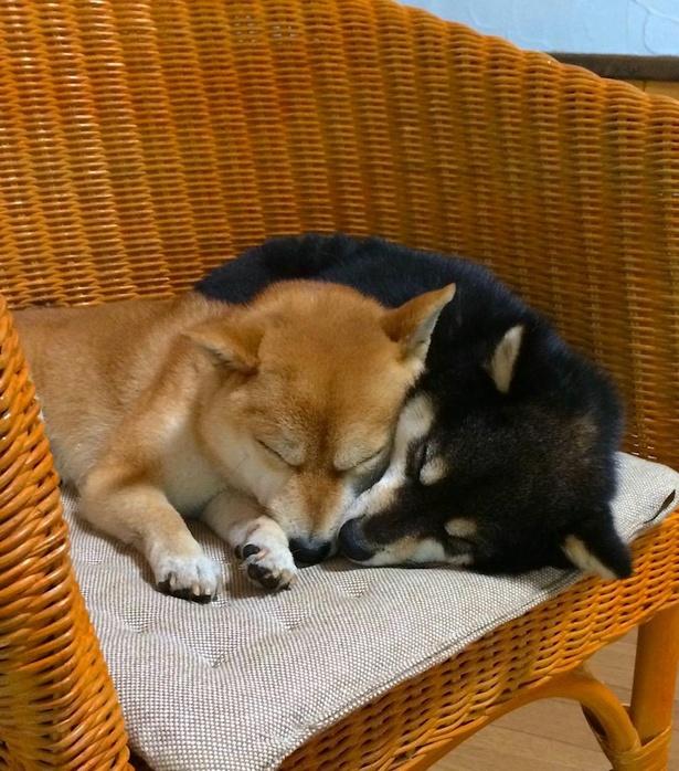 椅子の上で仲良く眠る姿もかわいい