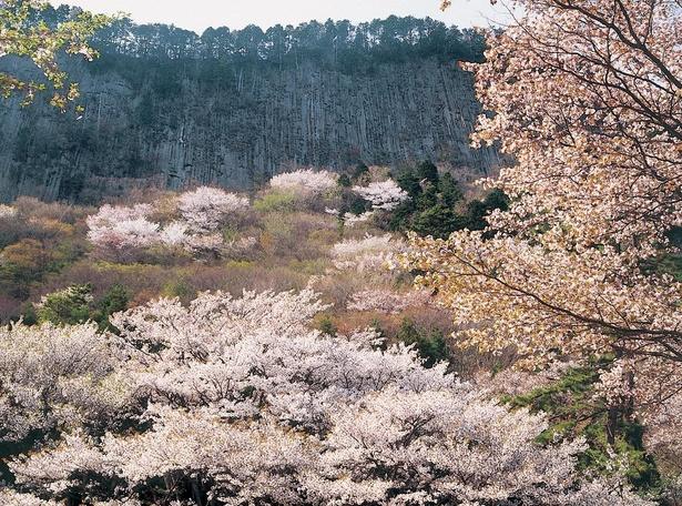 屏風岩公苑の山桜が見頃を迎える