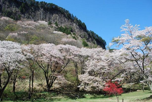 屏風岩の麓の広場では山桜を身近で観賞できる