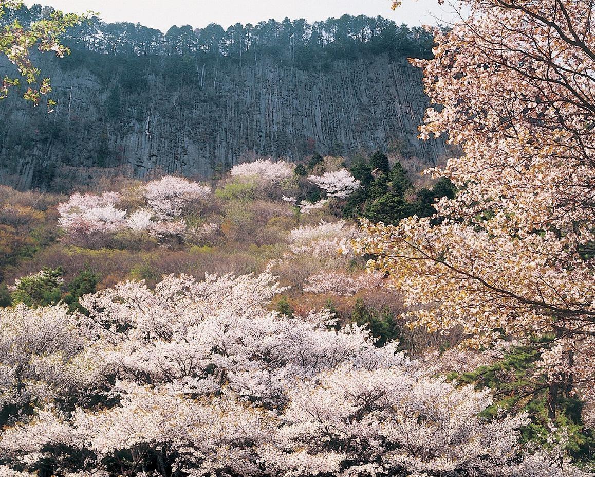 照らし出された山桜と岩肌の幻想的な景色、奈良県曽爾村の屏風岩公苑で桜のライトアップを実施