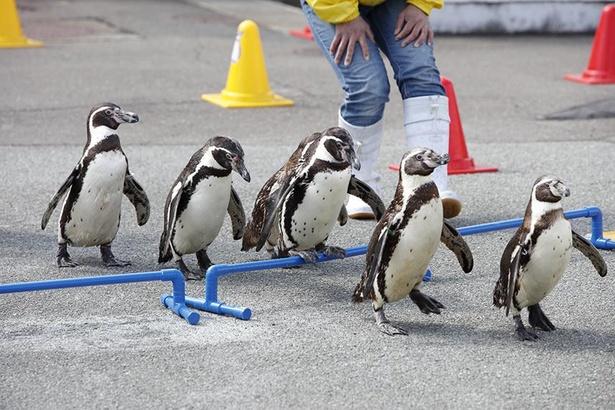 ペンギンお散歩タイム