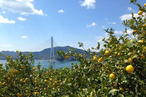 日本一のレモン産地として知られている、尾道市瀬戸田町