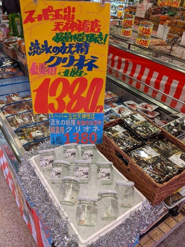 天神橋店で12月のみ販売される流氷の妖精「クリオネ(観賞用)」。ちなみに売場は鮮魚コーナー