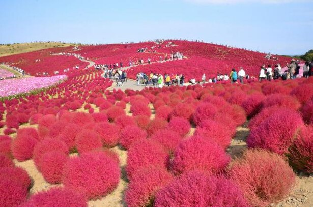秋には紅葉したコキアで丘が一面真っ赤に