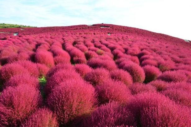 ネモフィラの花が咲き終わるとすべて刈り取り、コキアとコスモスがみはらしの丘に植えられる
