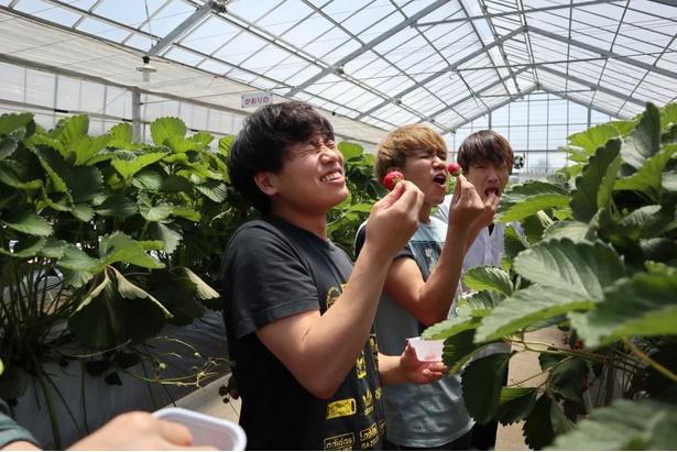 江戸時代から400年続く、長い歴史を持つ北田農園 苺のマルシェで摘みたてのいちごを味わえる(※今年は写真のように、摘んだいちごをその場で食べることはできませんので、ご注意ください)