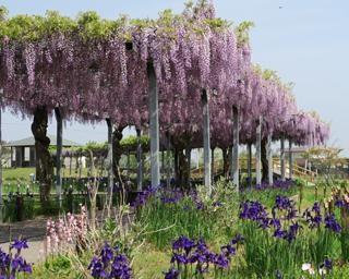 美麗な藤棚を鑑賞、千葉県香取市の水郷佐原あやめパークで「観藤会」が開催