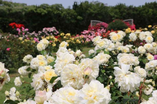 たくさんの春バラの芳香に包まれる癒やしの空間
