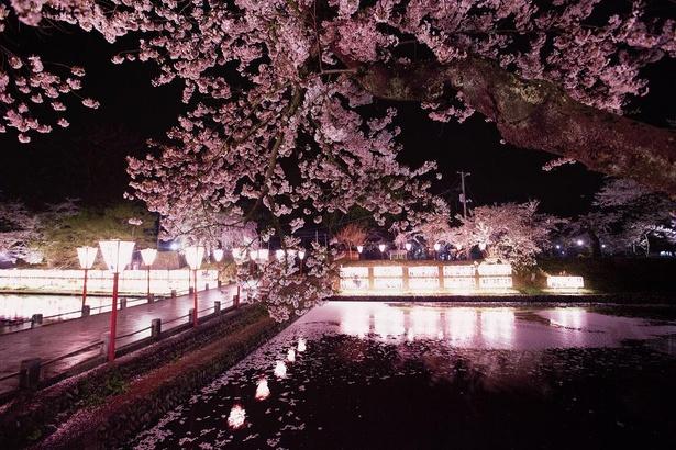 ぼんぼりに照らされた夜桜は艶っぽい印象を与えてくれる