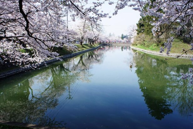 昼間の最上公園の桜も見ておきたい光景だ