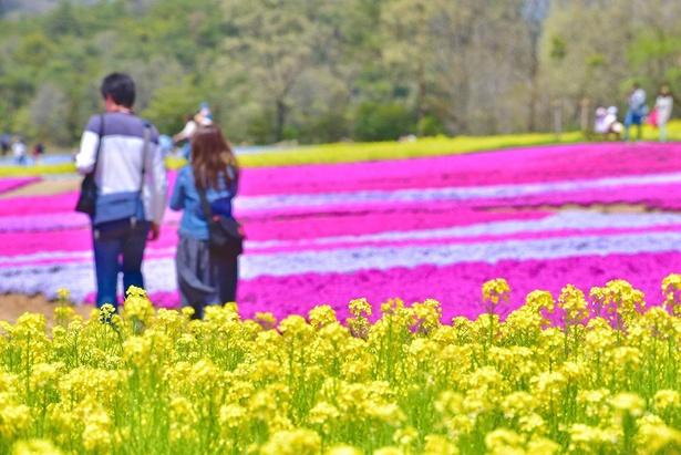 芝桜のピンクに加え、スミレ・菜の花・ルピナスなどの色彩豊かな花々も楽しめる