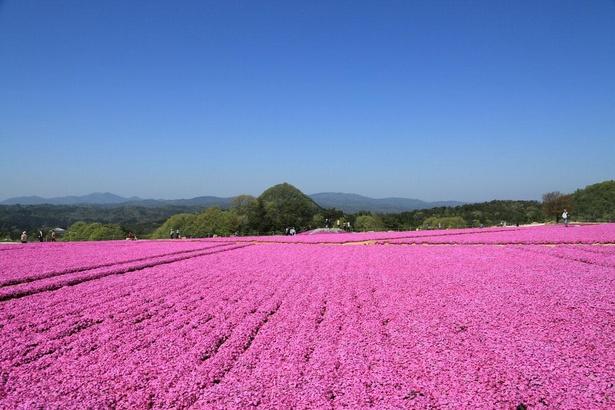 広大な丘一面を覆いつくす芝桜は絶景