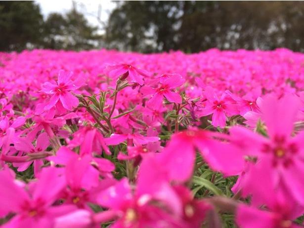 ハナシノブ科フロックス属の芝桜