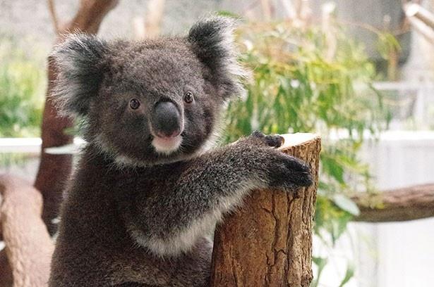 全部で7頭のコアラを飼育。11時30分ごろのエサ交換の時間帯がオススメだ/淡路ファームパーク イングランドの丘