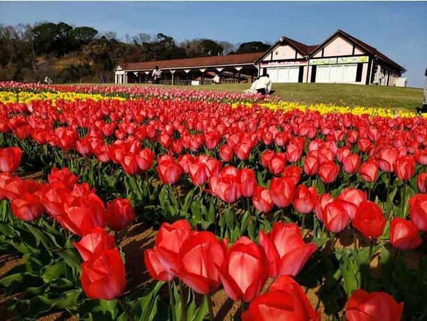 フラワーガーデンには色鮮やかなチューリップが4月中旬まで咲き誇っていた