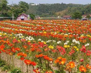 美しい花々が咲き誇る、千葉県袖ケ浦市の東京ドイツ村でポピーやバラが見頃